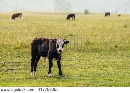 Beautiful Black White Young Calf Grazing In Meadow In Mountain Countryside Among Cows. Scenic Landsc
