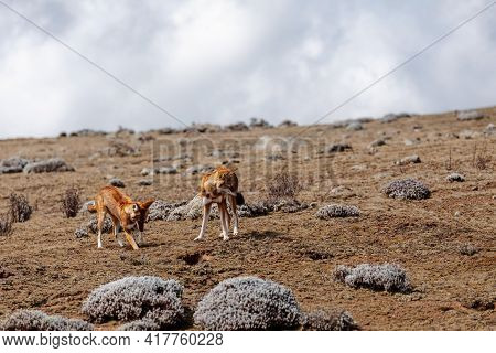 Very Rare Endemic Ethiopian Wolf, Male And Female, Canis Simensis, Sanetti Plateau In Bale Mountains