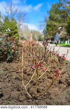 Spring Growth On A Pruned Rose Shrub In A In A Park, Spring Time In City