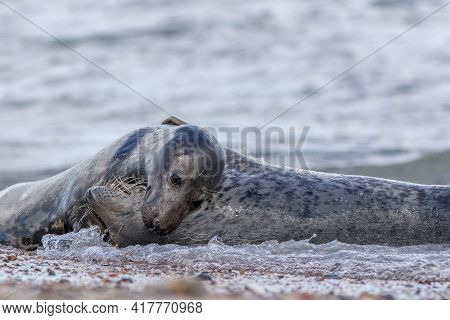 Animal Love. Beautiful Wildlife Romance. Grey Seals Tender Caress On The Beach. Romantic Passionate