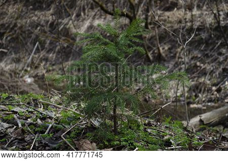 Young Spruce N Forest Closeup. Wild Young Spruce.