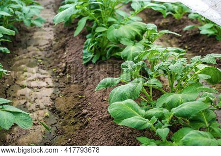 Rows Of Young Bushes Potato Plantation After Watering Irrigation. Agroindustry Agribusiness. Growing