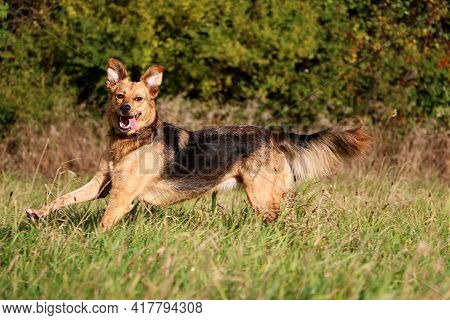 Funny Mixed Shepherd Dog Is Running On A Field