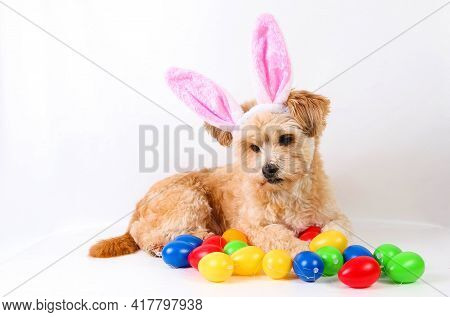 Funny Small Brown Mixed Dog Is Lying In The White Studio With Colorful Easter Eggs And Funny Bunny E