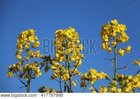 Extreme Close Up Of Yellow Rape Seed Flowers