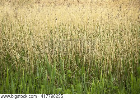 Reeds Grass Fresh Green And Old Dry In The Meadow