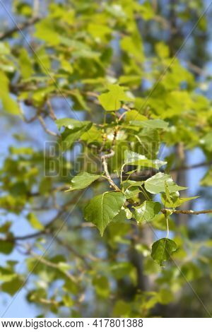Lombardy Poplar - Latin Name - Populus Nigraa Var. Italica