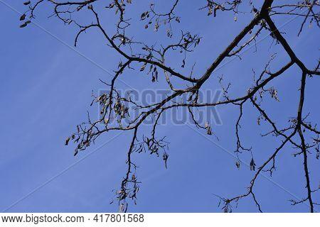 Black Locust Seed Pods On Branches - Latin Name - Robinia Pseudoacacia