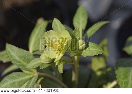 Majorcan Hellebore Flowers - Latin Name - Helleborus Lividus
