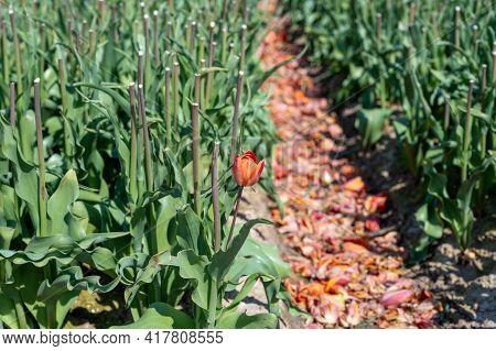 Tulips Bulbs Production In Netherlands, Cutted Tulip Flowers Heads On Farm Fields In Zeeland