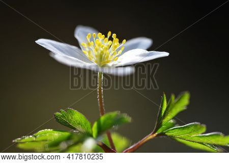 Wood anemone (Anemone nemorosa) close up. Spring flower.