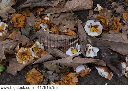 Spring Scene Showing Decaying Camellias Lying Amongst Dead Brown Foliage