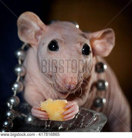 Georgous Hairless Rat With Jewelry, Is Eating Cheese And Smiling