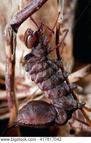 Dark Red Color Night Butterfly Caterpillar Climbs Up Dry Branch, Similar To An Little Alien Monster