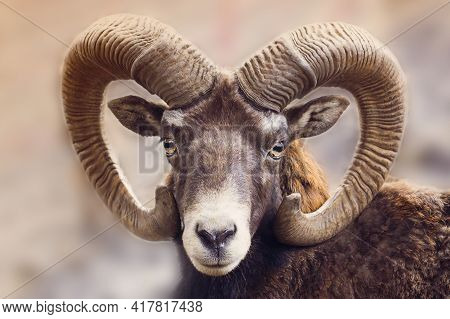 Portrait Of A Ram. Animal With Horns.