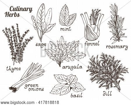 Culinary Herbs On White Background, Hand Drawn Set Of Herbs And Spices