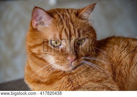 Ginger Tabby Cat With Tiger-like Stripes On Head. Red Cat Looking Side And Posing Proudly. Young Cat