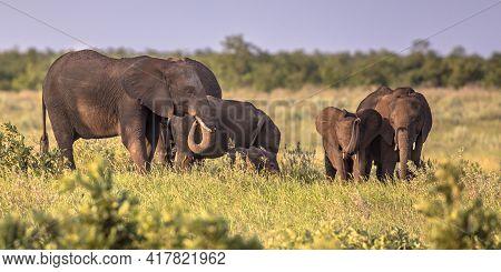 African Elephants (loxodonta Africana) Matriarchal Female Family Group In Afternoon Sun On Savanna I
