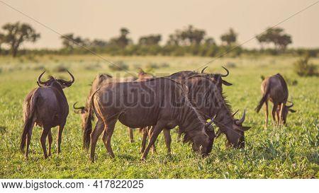 Common Blue Wildebeest Or Brindled Gnu (connochaetes Taurinus) Herd Grazing At Sunset In Mooiplaas R