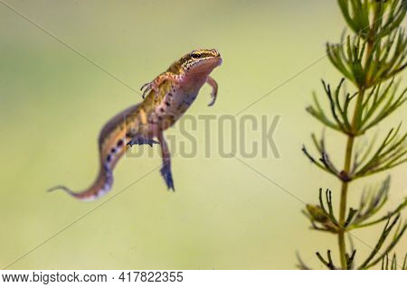Palmate Newt (lissotriton Helveticus) Colorful Aquatic Amphibian Male Swimming In Freshwater Habitat