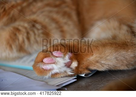 Close-up Of Fluffy Paw Of Red Tabby Cat With Cute Pink Toe Pads And Long White Fur Between. Ginger C