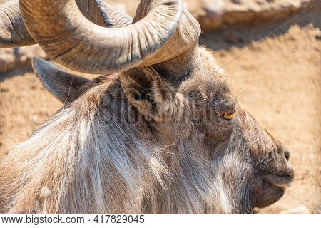 Spiral Horns Of The Mountain Goat. Markhor Or Scythe Goat Looks Into The Camera. Mountain Goat In Th