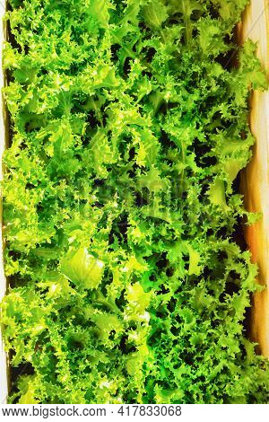 Juicy Bright Green Lettuce Leaves Close-up, Top View.background Of Juicy Bright Leaves Of Sprig Leaf