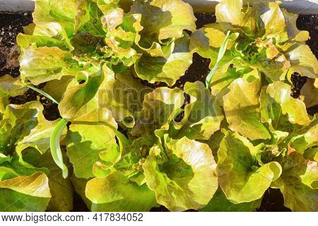 Juicy Bright Green With A Reddish Tinge Lettuce Leaves Close-up, Top View. Vegetarian Ingredient. Ba