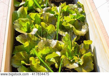 Juicy Bright Green With A Reddish Tinge Lettuce Leaves In The Box, Close-up. Appetizing Young Leaves