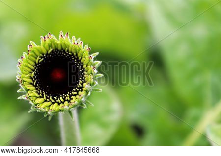 The Black Bud Of A Gerbera Opening Up.