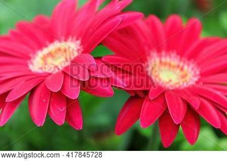 Two Pink Gerberas Close To Each Other.