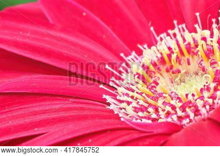 Macro Of A Pink Gerbera At The Lower Right Hand Corner.