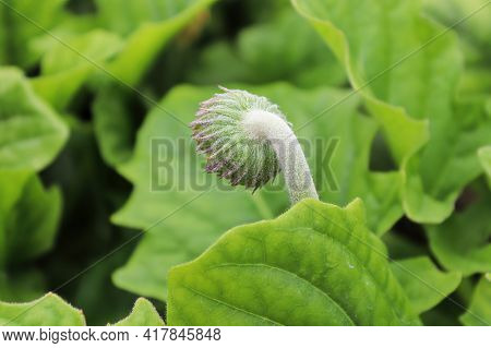 Back View Of The Hairy Gerbera Bud.