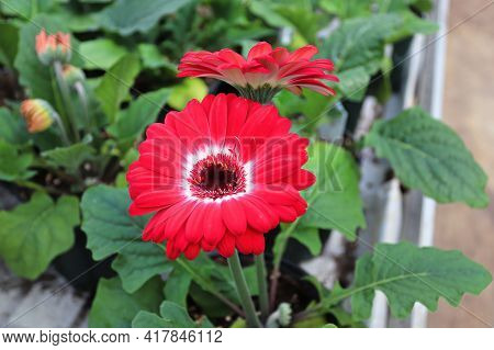 Red And White Gerbera Grow In Pots On A Table.