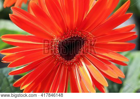The Uneven Center Of A Red Gerbera In Bloom.