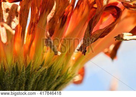 Macro Of Gerbera Petals Drying On A Flower Head.