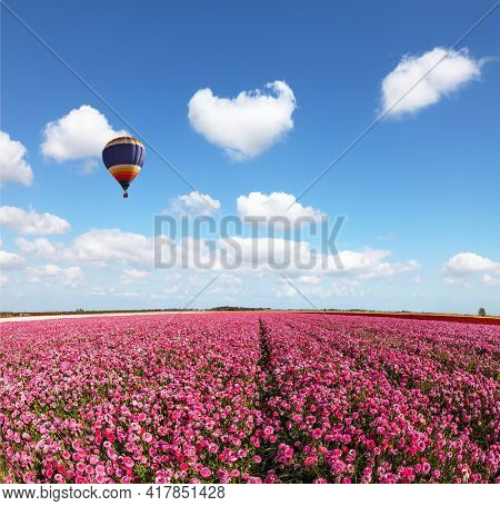 Red garden buttercups in a kibbutz field. Huge multicolored hot air balloon flies over a field of flowers. Israel. Wonderful trip for spring beauty. Light clouds fly in the blue sky
