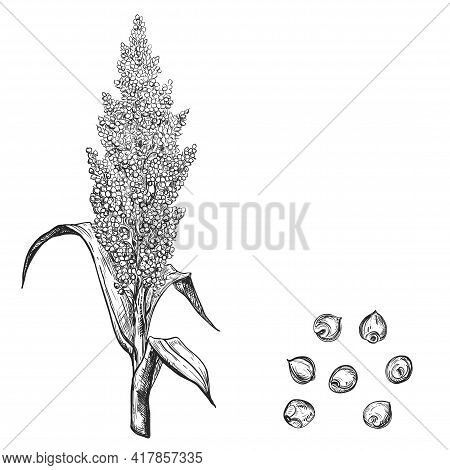 Hand Drawn Sketch Black And White Sorghum Ear, Grain, Seeds, Leaf. Vector Illustration. Elements In