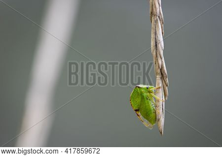Buffalo Cicada, Green Cicada Horned. Picture Of A Cicada Up Close. Green Cicada On A Dry Spikelet Of