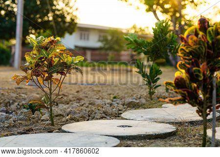 Codiaeum Variegatum (croton,variegated Laurel,orange Jessamine) Tree In A Garden Background Harvest