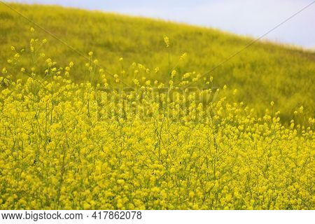 Mustard Plant Wildflower Blossoms During Spring On A Rural Hillside Taken At A Prairie In The Puente