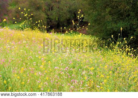 Lush Meadow Covered With Spring Wildflowers Surrounded By An Oak Woodland Taken On A Prairie At Gras