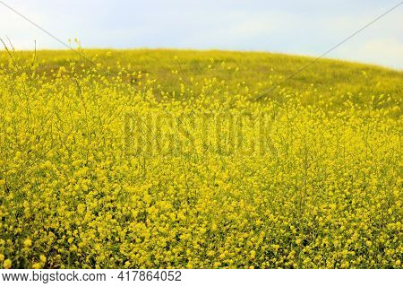 Rural Hillside Covered With Grasslands And Mustard Plant Wildflowers During Spring Taken On A Prairi