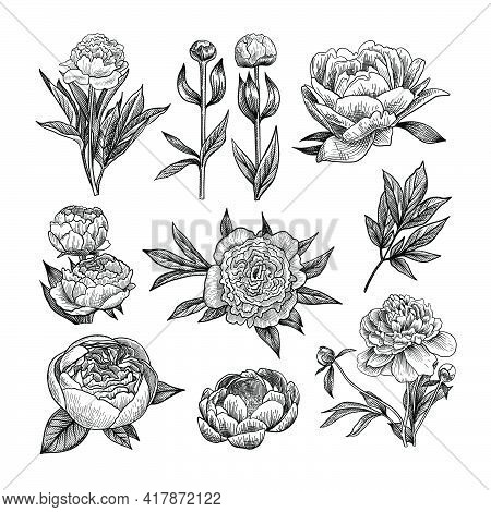 Peony Engraved Illustrations Set. Hand Drawn Sketch Of Blossoming Peonies With Leaves, Flower Buds O