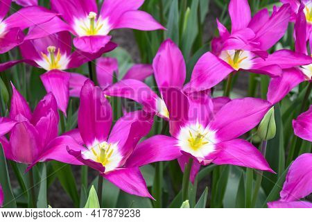 Beuatiful Purple Dreams Tulips With  Lily-shaped Flower, The Slender Petals Are A Regal Purple With