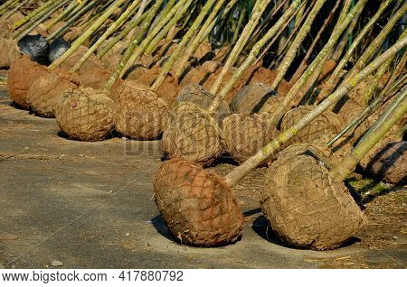 Garden Warehouse Of Trees Ready For The Season. The Trees Are Wrapped In Jute And Wire Mesh. The Nur