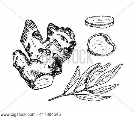 Ginger Root Outline Vector Illustration. Hand Drawn Black And White Contour Ginger Plant With Leaves