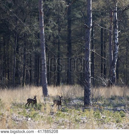 Two Roe Deer In Early Spring Forest With Pricked Ears Stand In High Grass