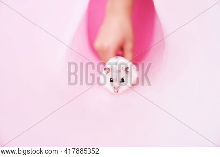 Dzungarian Grey Hamster In A Tube On A Pink Background. Hamster Runs Away From The Child. High Quali