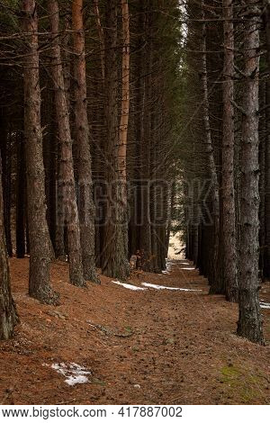 Sequoia Grove Vertical Spring Landscape. Huge Tall Trees, Natural Background Without People. An Alle